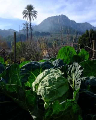 Aquest hivern hem cultivat a l'hort una varietat antiga de col de Menorca (Brassica oleracea), la col xorca. A partir d'una única remesa de llavors recol·lectada a Maó l'any 2002 i conservada des de llavors al banc de germoplasma, l'hem reproduïda amb la finalitat de multiplicar-la i renovar-la i assegurar així la seva conservació. Al @botanicsoller conservam varietats locals de los nostres illes. Vine a descobrir-les a l'hort!  #JBSollerVarietatsLocals @fogaiba @agriculturagoib@feimfeinapdr#fogaiba@goib#colxorca #menorca #illesbalears #varietatslocals #bancdellavors #bancdegermoplasma #hort #sóller #mallorca #patrimoninatural #patrimonicultural #alimentacio #sobiraniaalimentaria #cabbage #garden #ediblegarden #hortus #gardeners #slowlife #slowliving #slowfood #col #huerto #natura #photonature #naturephotography